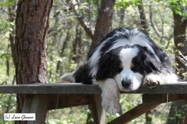 Lazy Australian Shepherd