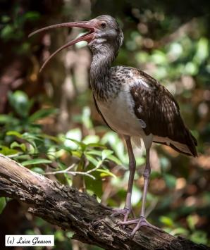 Adolescent White Ibis