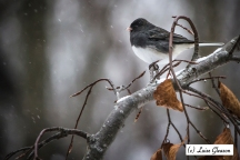 Junco In Winter