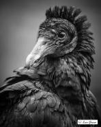Rock'n'Roll Vulture