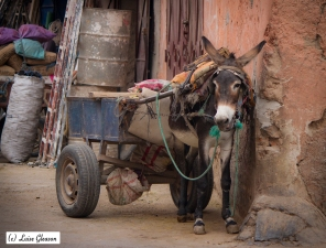 Donkey In Marrakesh