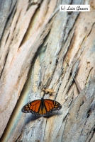 Lonesome Butterfly
