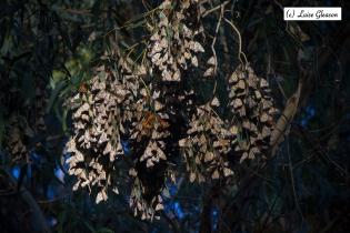 Monarchs 1