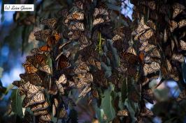 Monarchs 3